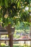 Trä för Mesuaferreajärn, rosa kastanj för indier fotografering för bildbyråer