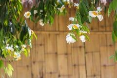 Trä för Mesuaferreajärn, rosa kastanj för indier royaltyfri bild