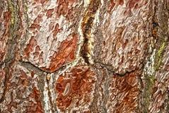 trä för skällhdrtextur Arkivbilder