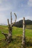 trä för song för grouseförälskelsenatur wild Döda träd i de Carpathians bergen ukraine Royaltyfri Bild