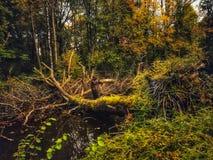 trä för song för grouseförälskelsenatur wild Royaltyfri Bild
