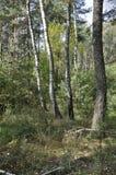 trä för song för grouseförälskelsenatur wild Björkskog i sen sommar royaltyfri bild