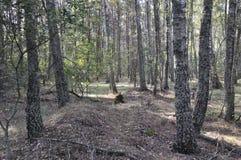 trä för song för grouseförälskelsenatur wild Björkskog i sen sommar arkivfoto