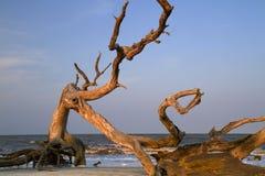trä för stranddrivahav Arkivfoto