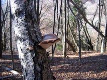 Trä-förfall svamp Fotografering för Bildbyråer