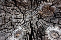 Trä i avsnitttextur, den forntida stubbenärbilden, tvärsnittet av trädet, klippte den gamla journalen, det bruna mörka gamla träd fotografering för bildbyråer