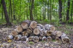 Trä i skogen Arkivfoto