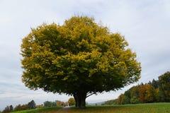Trä i zollikon Fotografering för Bildbyråer