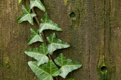 Trä och murgröna Royaltyfri Bild