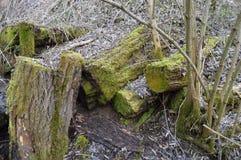 Trä som täckas med mossa Arkivbild