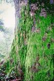 Trä som textureras med grön mossa Royaltyfri Bild