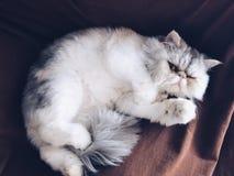 Trä som uppifrån pryder en sikt Det finns apvc som taklägger den materialsExotic kort-haired katten som ligger på soffan Täckt me royaltyfria bilder