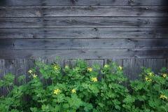 Träbakgrund med gula smörblommablommor arkivfoto