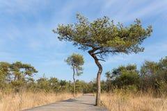 Träbanan för fotvandrare i skog med sörjer träd Fotografering för Bildbyråer