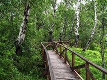Träbro eller väg i grön skogskogbakgrund med inget Grön björkskog royaltyfri foto