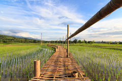 Träbron över risfältet Arkivfoto