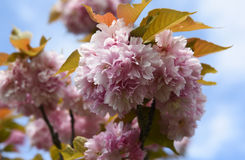Träd är blommande Royaltyfria Bilder