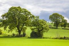 Träd över gräsfältet, Skottland Royaltyfri Bild