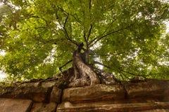 Träd överst av den Angkorian templet Arkivfoto