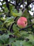 Träd Apple, frukt, filial, mat, rött, grönt som är mogen, natur, sidor, grönsakträdgård, trädgård, jordbruk, höst, nytt som är su Royaltyfria Bilder