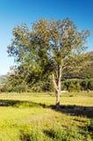 Träd av Asturias Fotografering för Bildbyråer