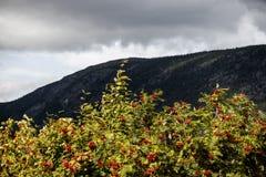 Träd av bergaskaen med mogna bär Arkivbilder