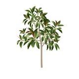 Träd av en fikus Arkivfoto