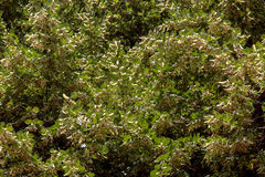Träd av en lind Arkivbild