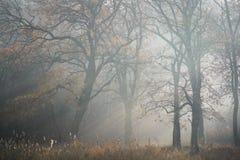 Träd av morgonmist Royaltyfri Foto