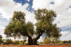 Träd av oliv som är sekulärt med dubbelt hår Arkivfoton