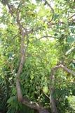 Träd av päron i min organiska trädgård arkivfoton