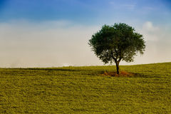 Träd bara i fältet Arkivfoton