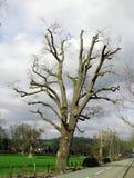 Träd beskurit, beskurit, pollarded royaltyfria foton