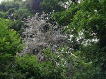 Träd/buskar som täckas i rengöringsdukar av Ermine Moth som ser spöklik/läskig i en Berlin Public Park arkivfoto