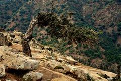 Träd deformerat av vind Kartbokberg Arkivfoton
