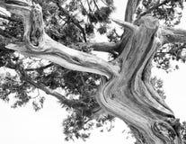 Träd. Den abstrakta konturn av sörjer trädfilialer Arkivfoton