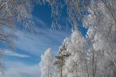 Träd deras kronor i rimfrost arkivbilder