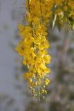 Träd Dok Koon för guld- dusch fotografering för bildbyråer