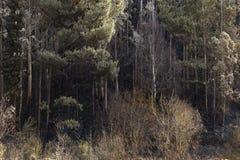 Träd efter branden 2, Spanien Arkivbilder