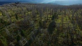 Träd efter skogsbrand i ekologiskadebegrepp stock video