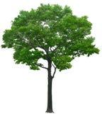 Träd ek, växter, natur, gräsplan, sommar som är lövrik, grönska Arkivfoto