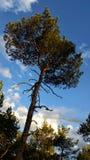 Träd för Ð-¡ onifer Fotografering för Bildbyråer
