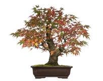 Träd för Acer japonicumbonsai som isoleras arkivfoto