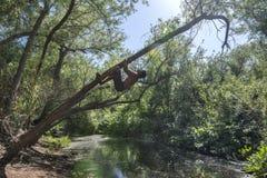 Träd för affärsföretagmanklättring som en apa royaltyfri bild