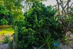 Träd för Agavepotatorumkaktus med stort och högväxt format i indonesia royaltyfri fotografi