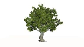 Träd för amerikansk bokträd stock illustrationer