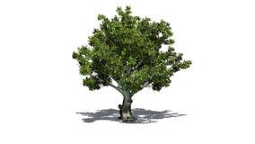 Träd för amerikansk bokträd med skugga på golvet stock illustrationer