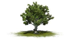 Träd för amerikansk bokträd på en grönområde stock illustrationer