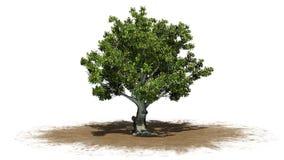 Träd för amerikansk bokträd på ett sandområde stock illustrationer