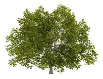 Träd för amerikansk bokträd som isoleras på vit Arkivbilder
